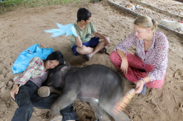 Lek and volunteers fan the baby elephant, keeping him free from bugs