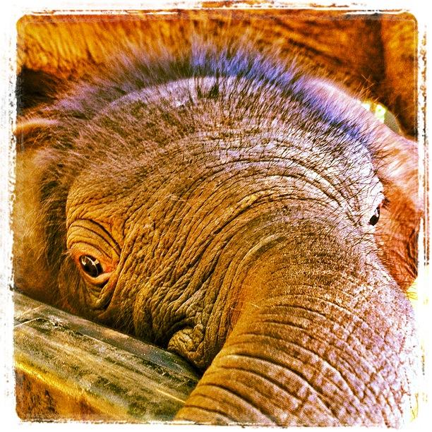 Elephant Nature Park Navann baby elephant