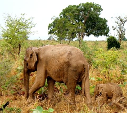 Udawalawae elephants