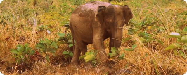 Udawalawae elephant