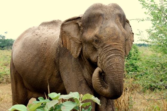 Elephant at Udawalawae