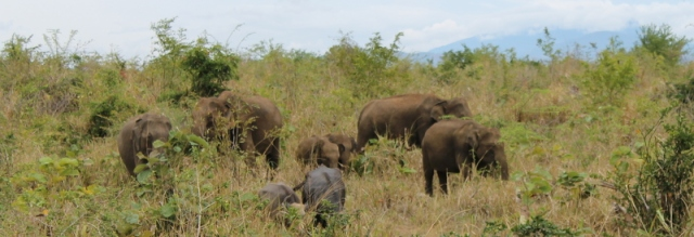 Family of elephants at Udawalawae