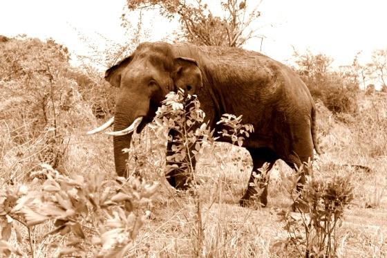 A male elephant at Udawalawae