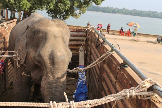 After the barge, Kham Lin, one of the elephant rescues, waits for the next leg of the journey