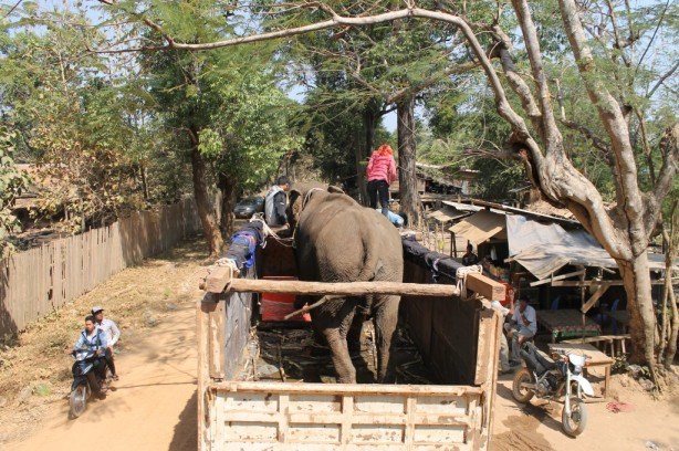 One of the elephants being rescued in Cambodia