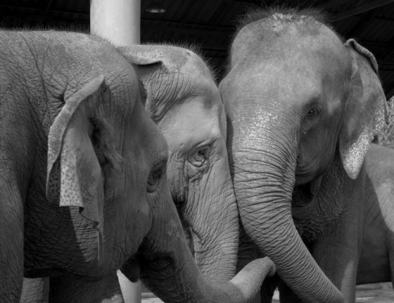 The rescue of Lucky to Elephant Nature Park