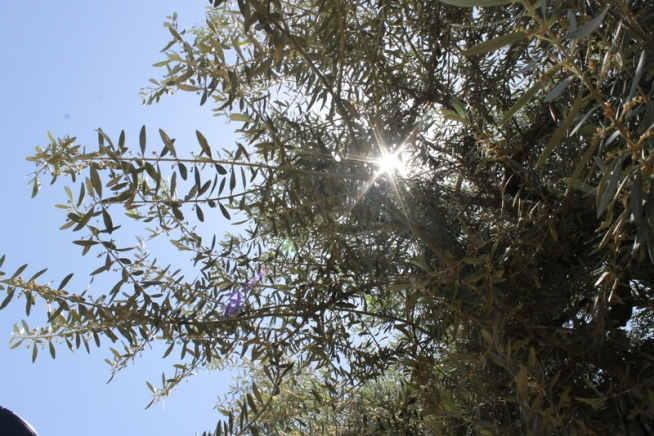 An olive tree in Hebron