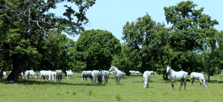 Lippizan horses in Slovenia