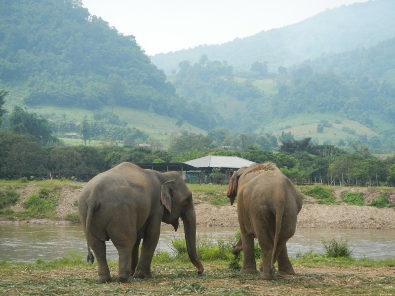 Rescued elephants in Thailand