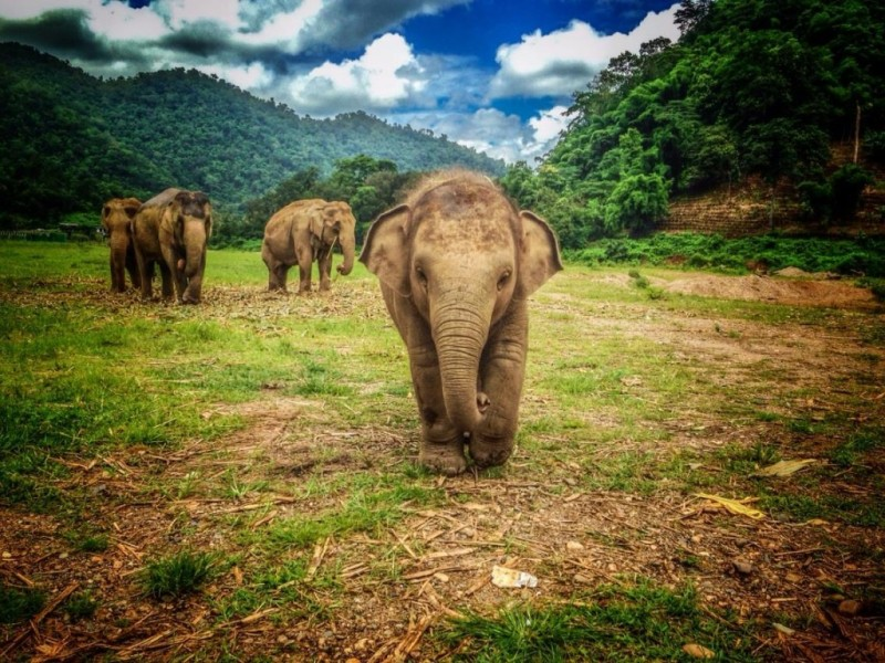 Things to do in Chiang Mai: visit elephants at Elephant Nature Park