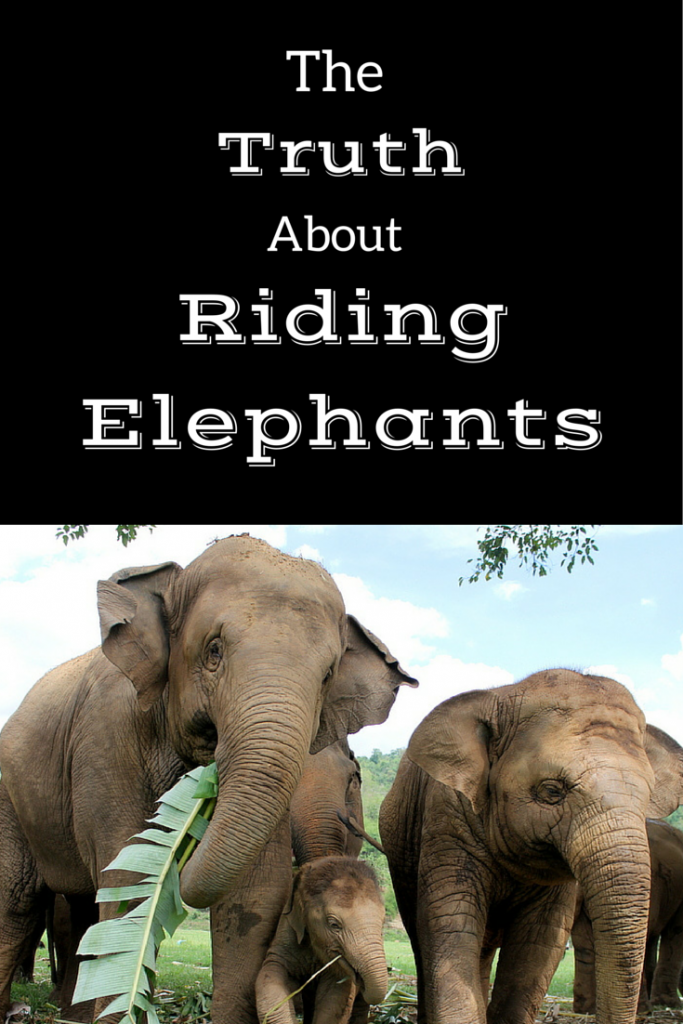 The reality of elephant tourism in SE Asia. An in-depth post on the truth about riding elephants, shows and more in Southeast Asia.